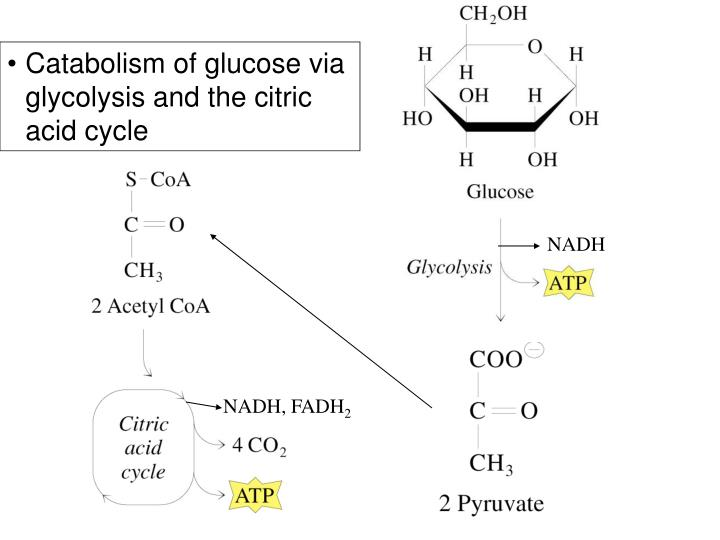 Catabolism of glucose via glycolysis and the citric acid cycle