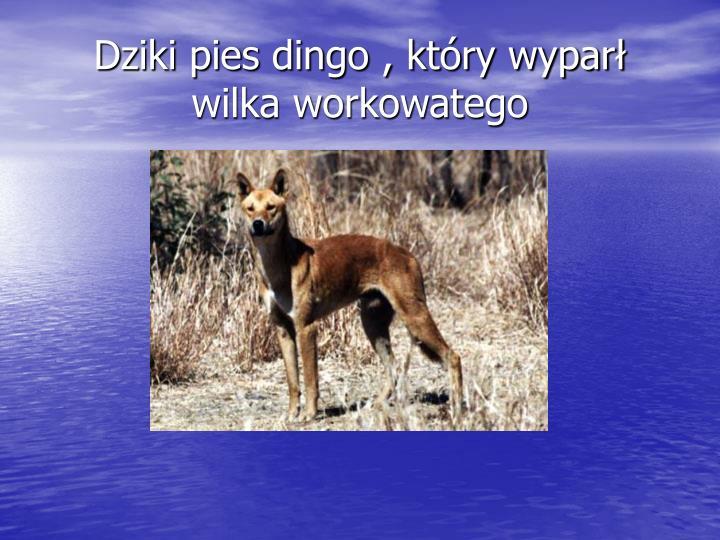 Dziki pies dingo , który wyparł wilka workowatego