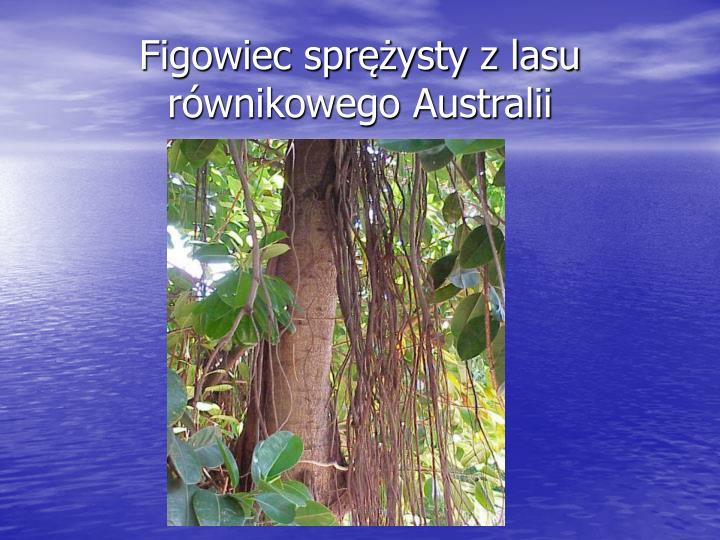 Figowiec sprężysty z lasu równikowego Australii