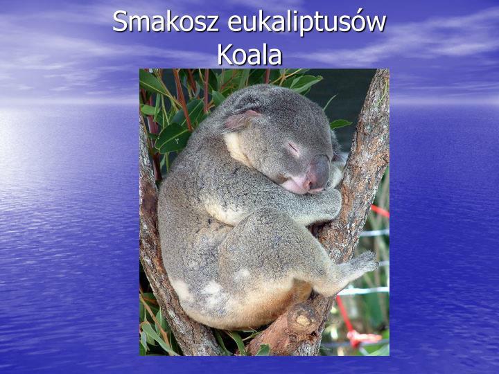 Smakosz eukaliptusów