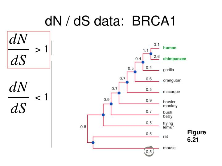 dN / dS data:  BRCA1
