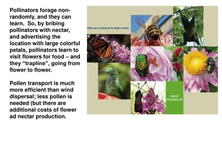 Pollinators forage non-randomly, and they can learn.  So, by bribing pollinators with nectar, and ad...