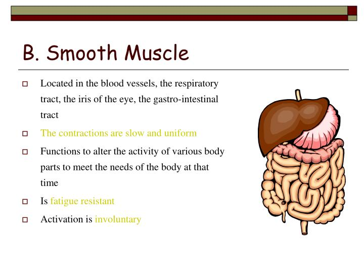 B. Smooth Muscle