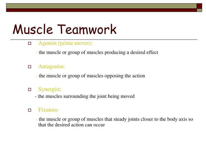 Muscle Teamwork