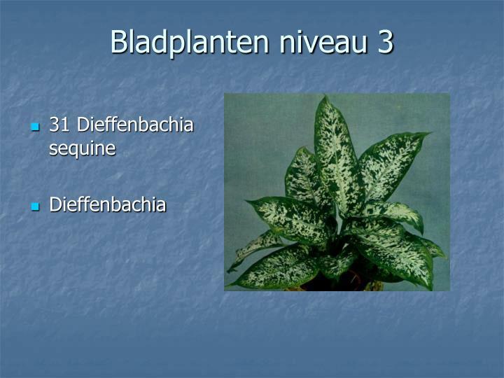 31 Dieffenbachia sequine