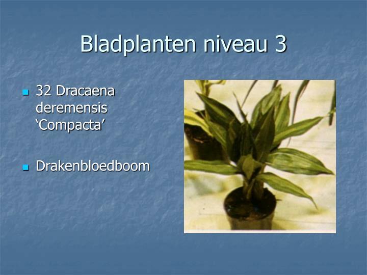 32 Dracaena deremensis 'Compacta'