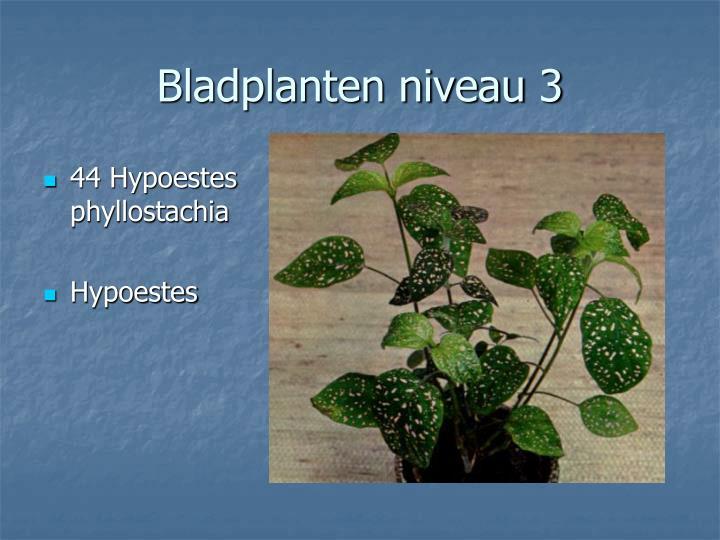 44 Hypoestes phyllostachia