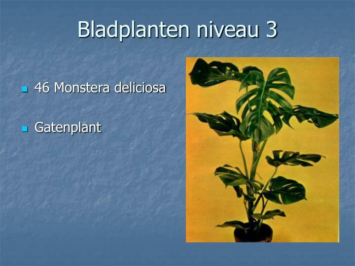 46 Monstera deliciosa