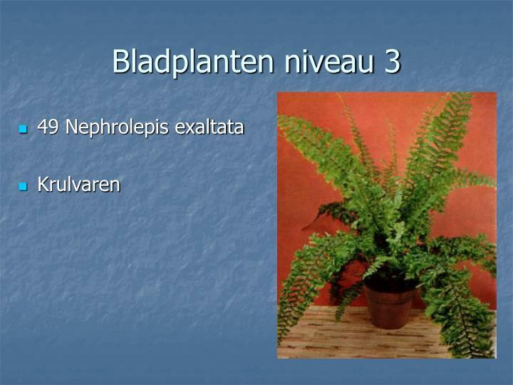 49 Nephrolepis exaltata
