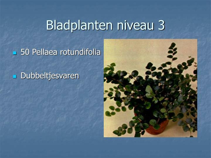 50 Pellaea rotundifolia