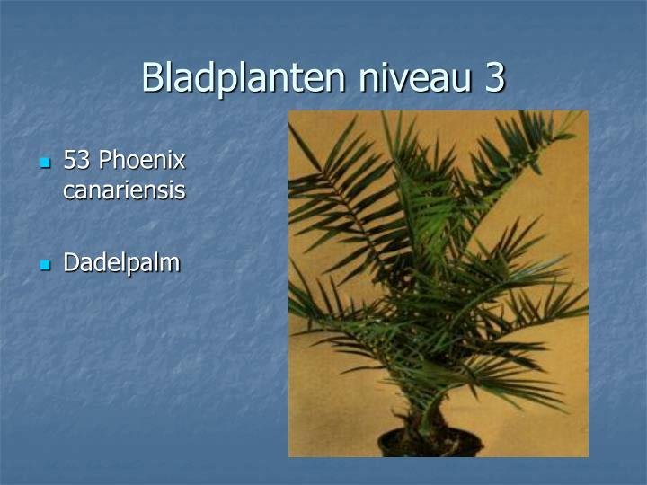 53 Phoenix canariensis