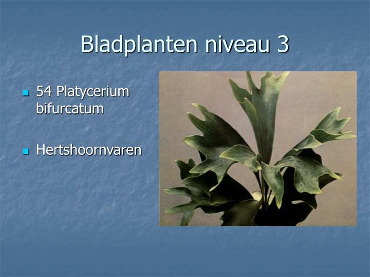 54 Platycerium bifurcatum