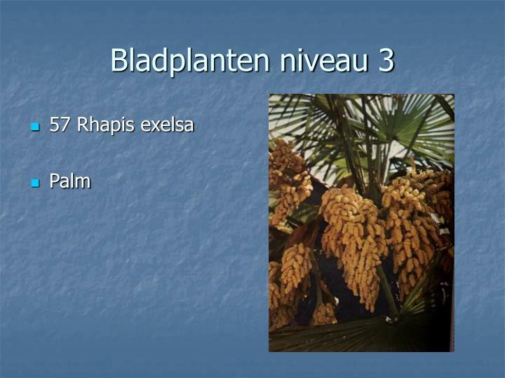 57 Rhapis exelsa
