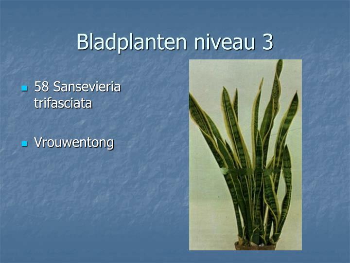 58 Sansevieria trifasciata