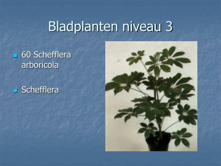 60 Schefflera arboricola