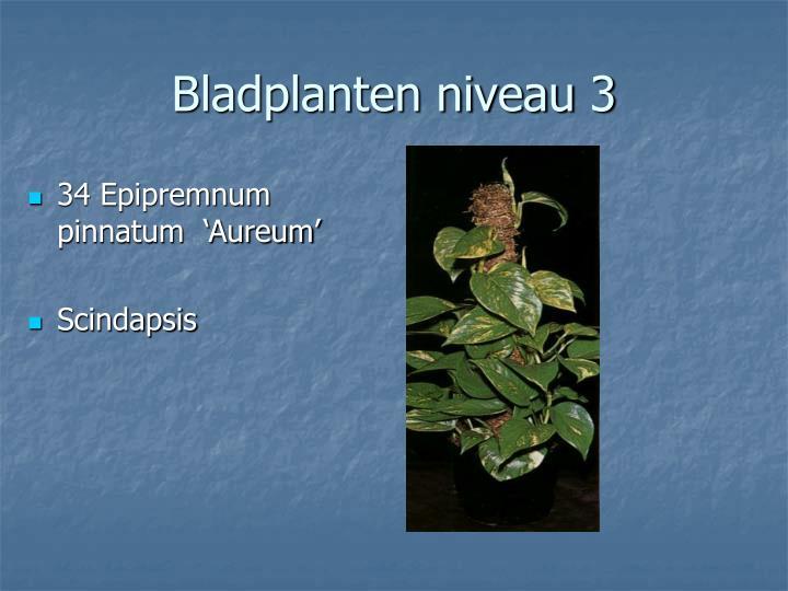 34 Epipremnum pinnatum  'Aureum'