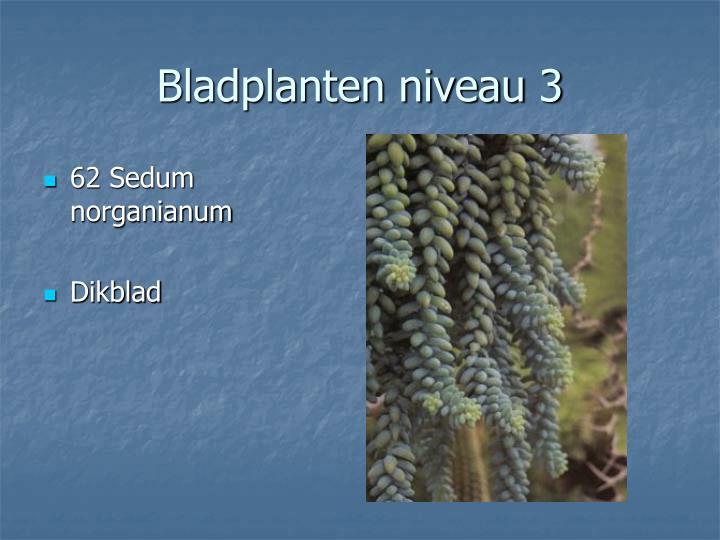 62 Sedum norganianum