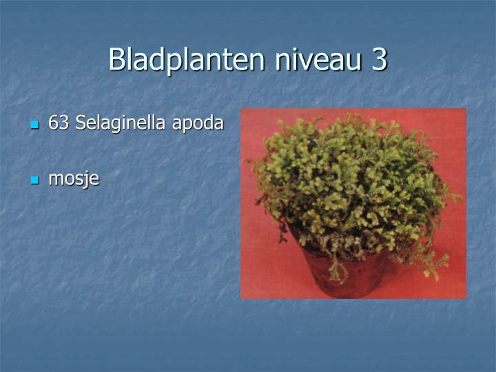 63 Selaginella apoda
