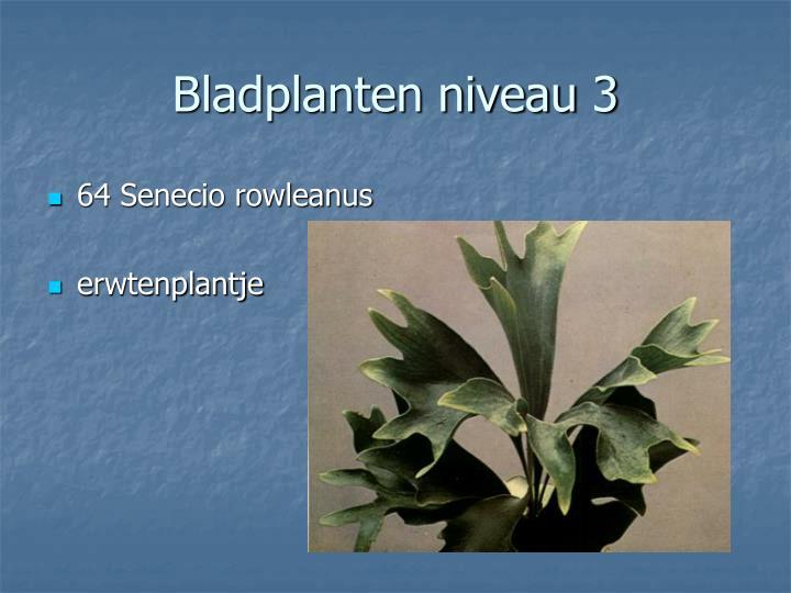 64 Senecio rowleanus