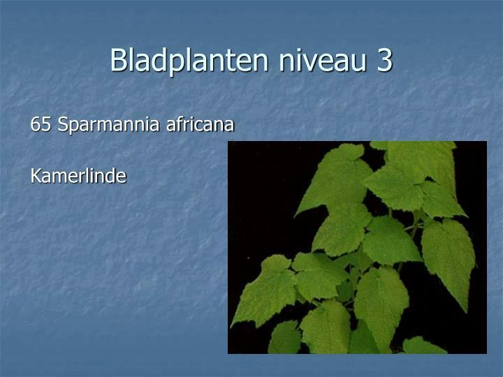 65 Sparmannia africana