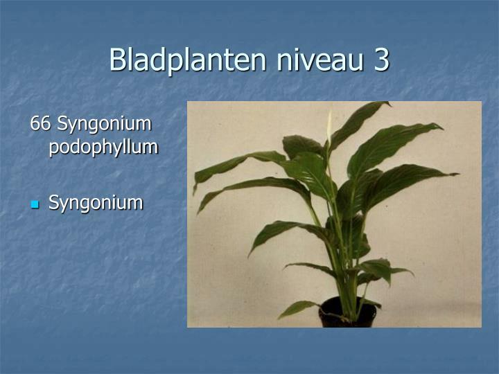 66 Syngonium podophyllum