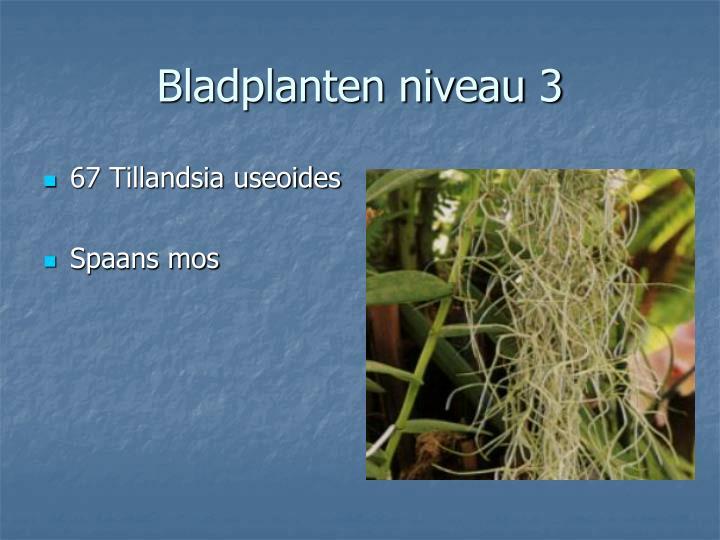 67 Tillandsia useoides