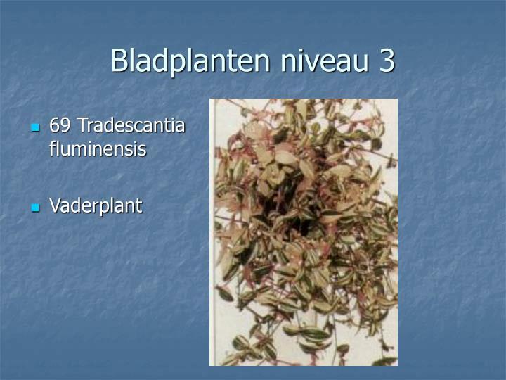 69 Tradescantia fluminensis