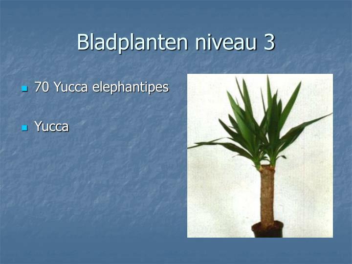 70 Yucca elephantipes