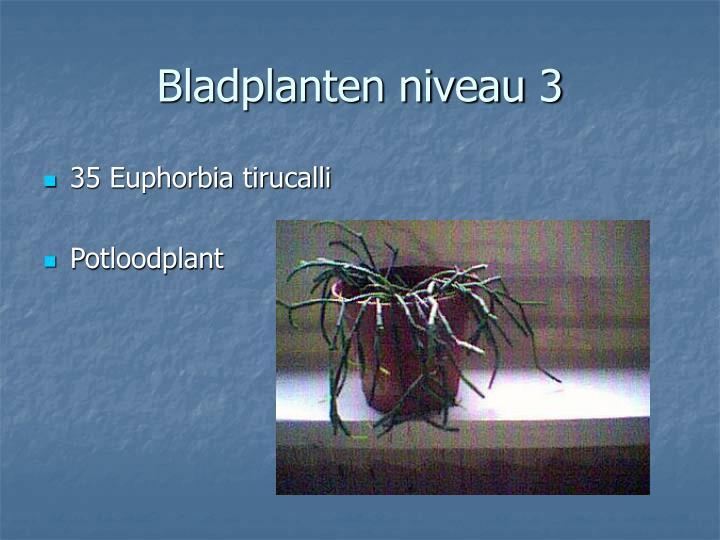 35 Euphorbia tirucalli