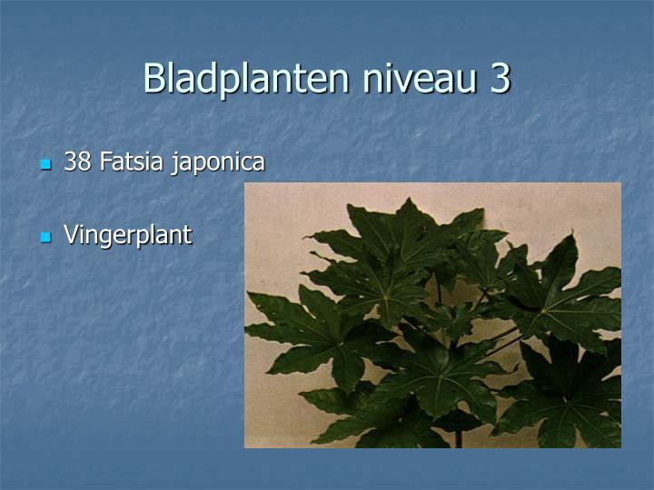 38 Fatsia japonica