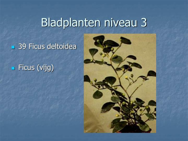 39 Ficus deltoidea
