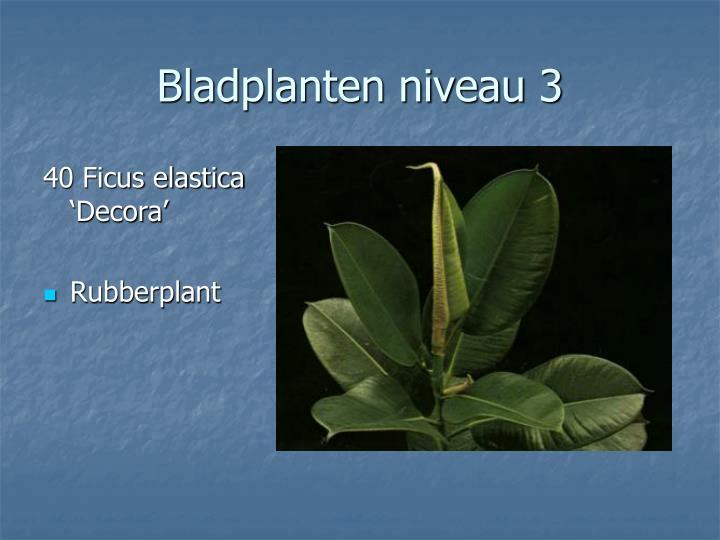40 Ficus elastica 'Decora'