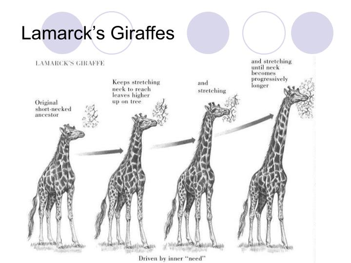 Lamarck's Giraffes