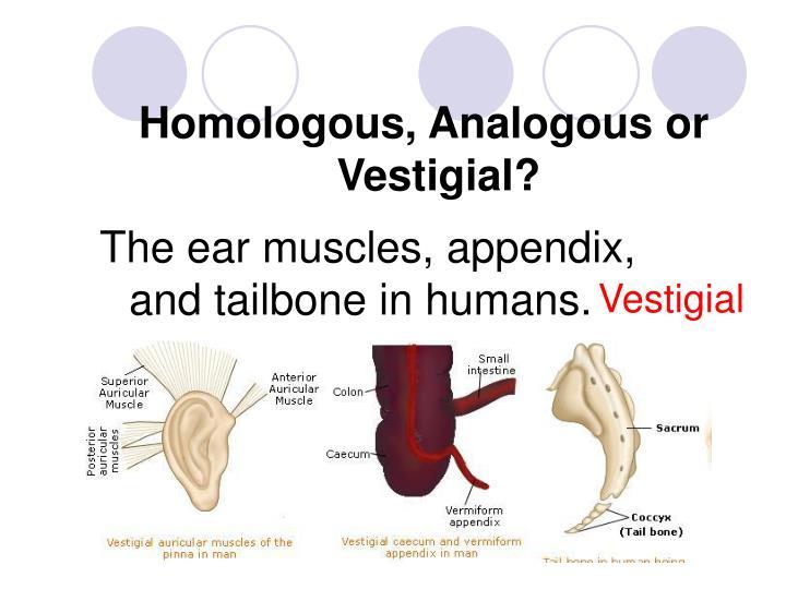 Homologous, Analogous or Vestigial?