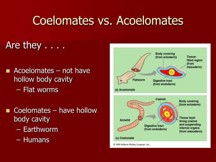 Coelomates