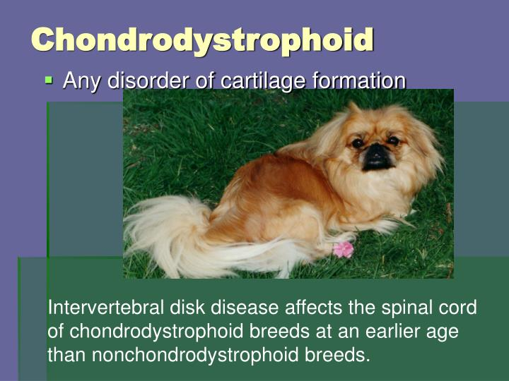Chondrodystrophoid
