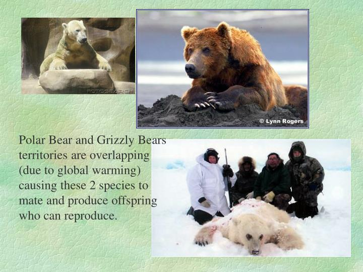 Polar Bear and Grizzly Bears territories are overlapping (due to global warming) causing these 2 species to mate and produce offspring who can reproduce.