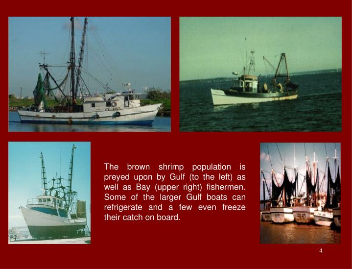 The brown shrimp population is preyed upon by Gulf (to the left) as well as Bay (upper right) fishermen.  Some of the larger Gulf boats can refrigerate and a few even freeze their catch on board.