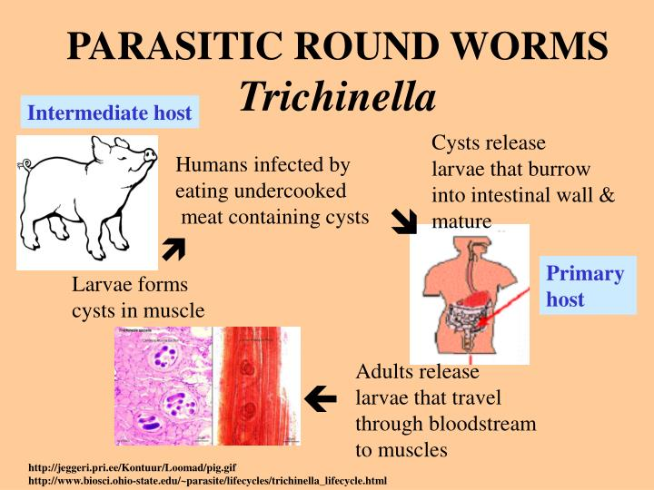 PARASITIC ROUND WORMS