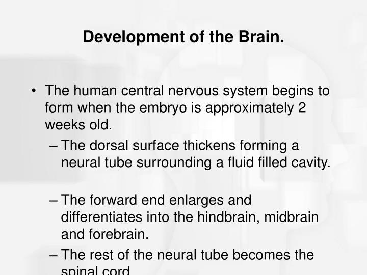 Development of the Brain.