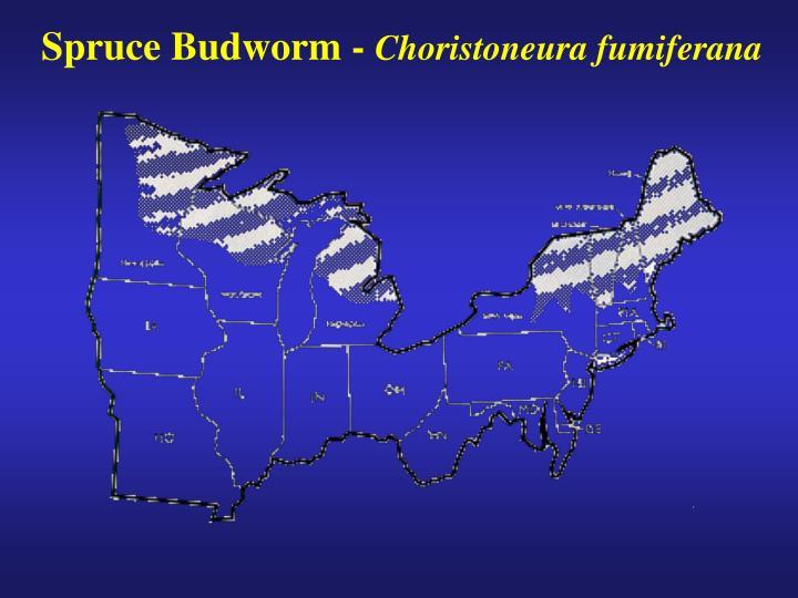 Spruce Budworm -
