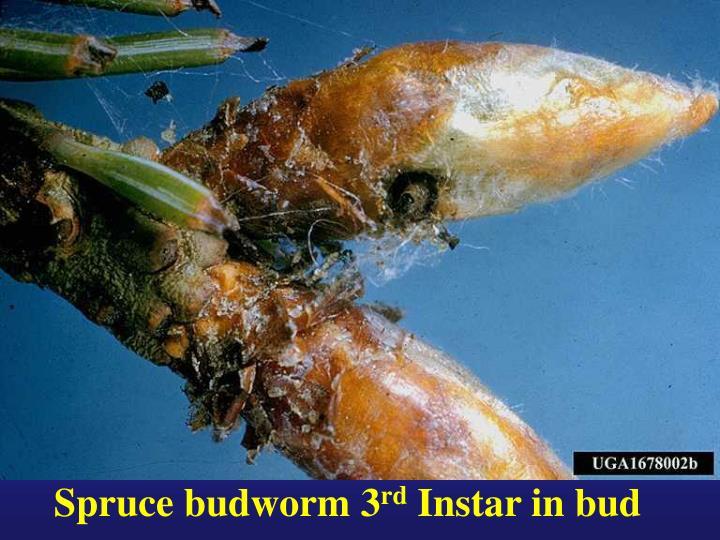 Spruce budworm 3