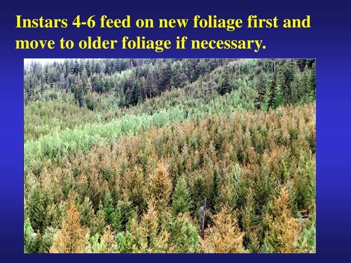 Instars 4-6 feed on new foliage first and move to older foliage if necessary.