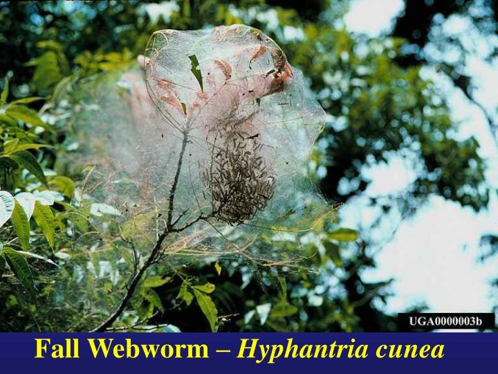Fall Webworm –