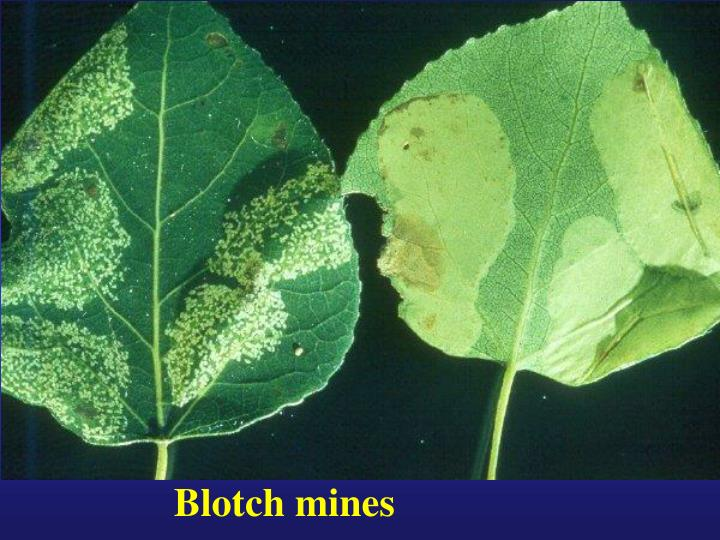 Blotch mines