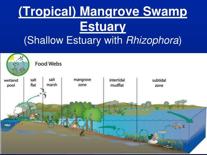 (Tropical) Mangrove Swamp Estuary