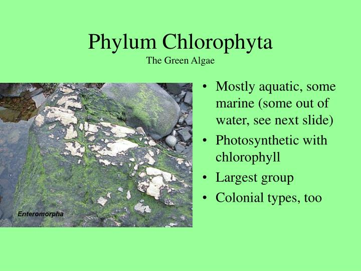 Phylum Chlorophyta