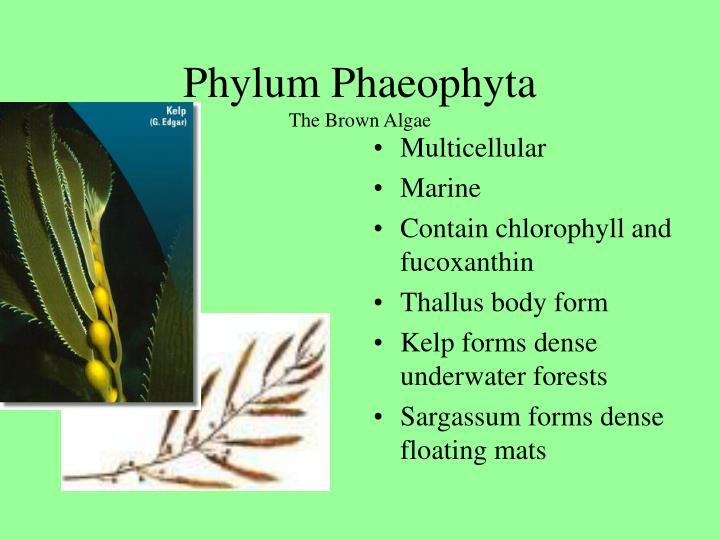 Phylum Phaeophyta