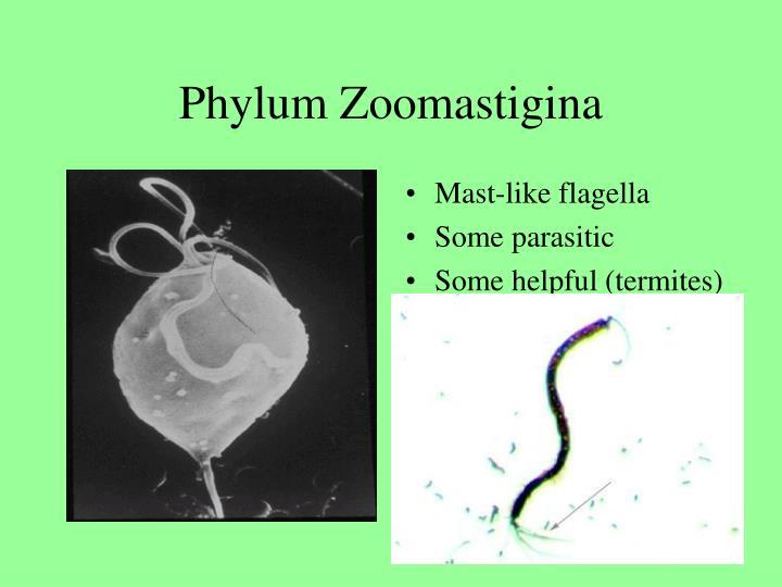 Phylum Zoomastigina