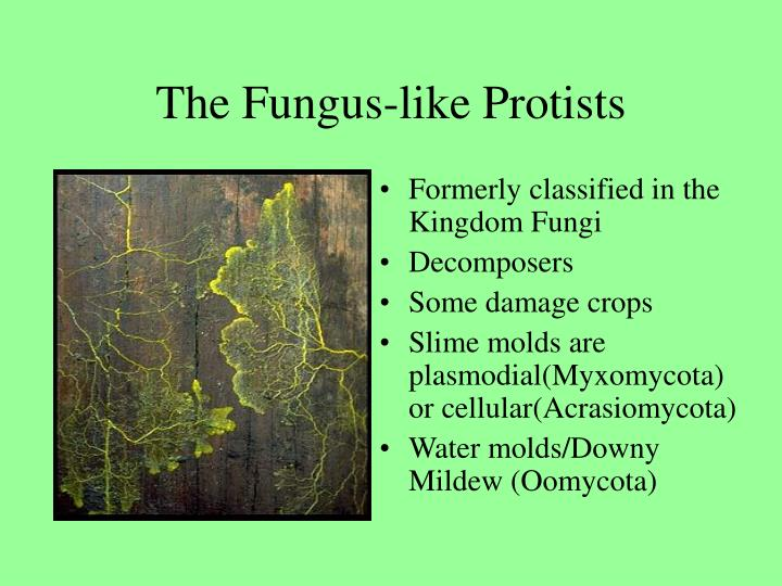 The Fungus-like Protists